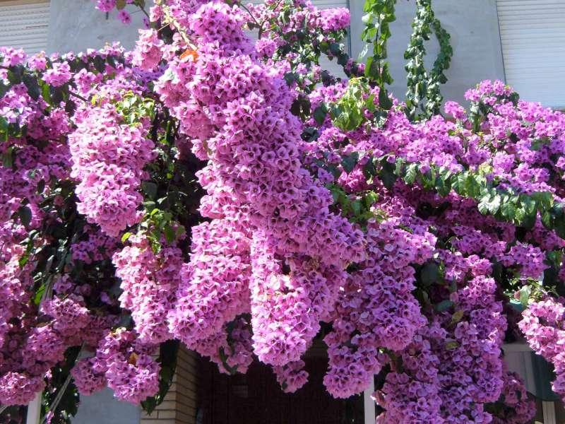 La finestra di stefania madame bougainvillea oui c 39 est for Fiori per giardino perenni