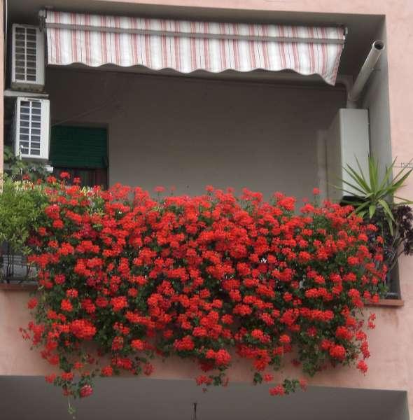 La finestra di stefania gerani malvoni e pelargonium for Fiori gerani