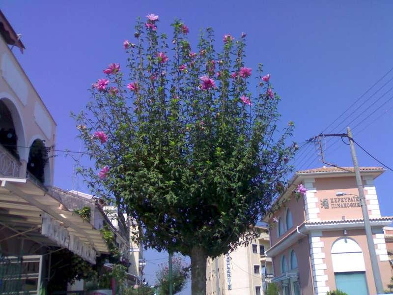 Hibiscus syriacus albero fiori idea immagine - La finestra viola ...