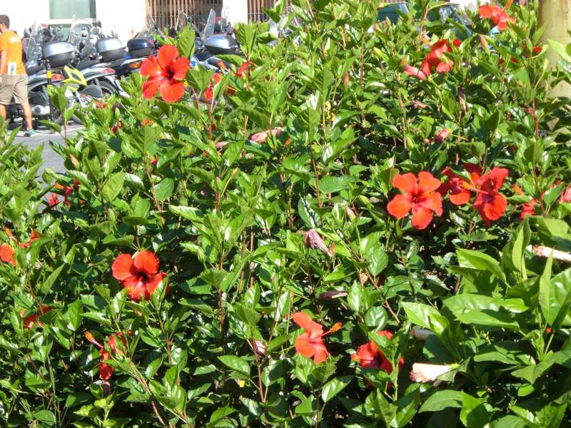 La finestra di stefania hibiscus squillino le trombe for Ibisco in inverno