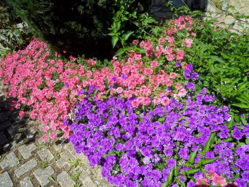 La finestra di stefania verbena il fiore che canta il for Piante e fiori perenni per aiuole