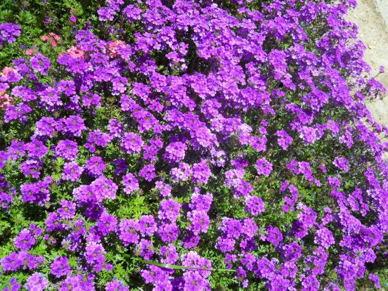La finestra di stefania un giardino viola melanzana la for Cespugli giardino