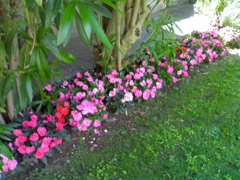 La finestra di stefania impatiens nuova guinea i fiori for Piante da aiuola