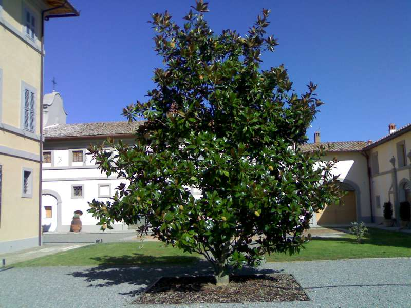 La finestra di stefania magnolia grandiflora magnolia for Alberi sempreverdi da ombra
