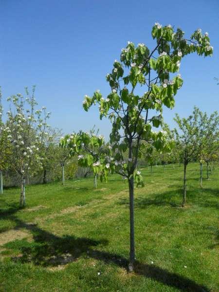 Scegliere gli alberi da giardino allu ombra delle piante - Alberi ornamentali da giardino ...