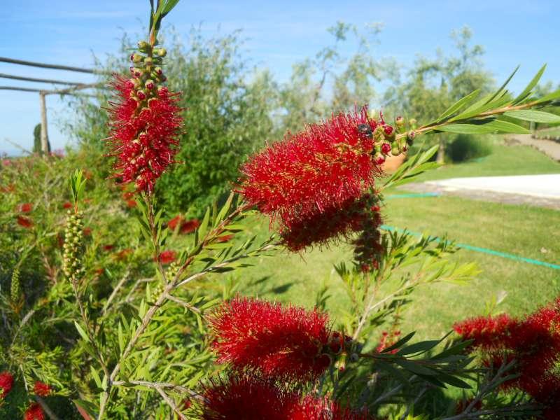 La finestra di stefania pianta dai fiori rossi come ciuffi for Pianta con la p