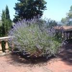 fiori più adatti da metter in un vaso o nel giardino, la lavanda