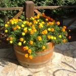 tagete gialli e arancioni fiori più adatti da metter in un vaso o nel giardino