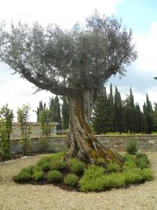 La finestra di stefania olivo esemplare con aiuola di timo la finestra di stefania - Alberi sempreverdi da giardino ...