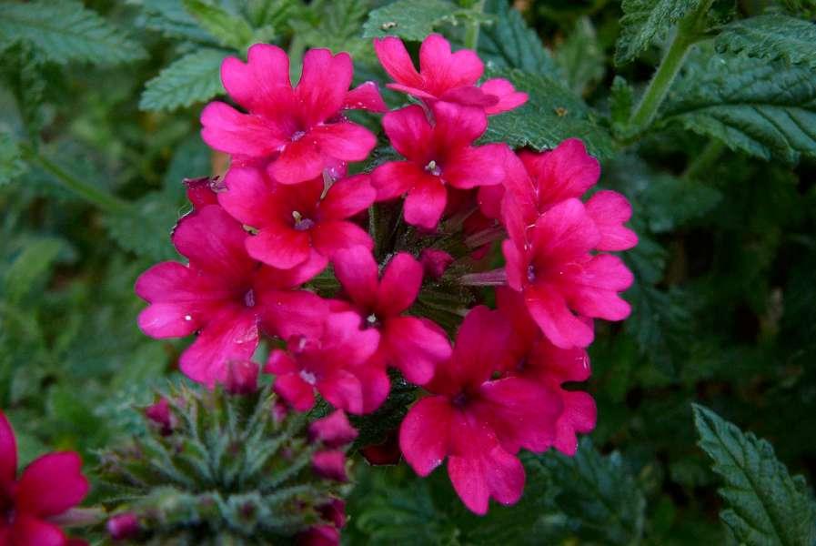La finestra di stefania fiori di verbena la finestra di - Fiori perenni da giardino ...