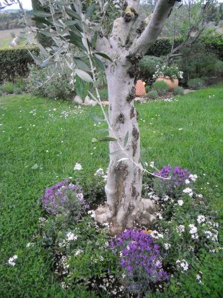La finestra di stefania aiuola di olivo con solanum e for Aiuola con ulivo