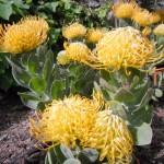 fiori gialli di cordifolium