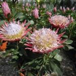 protea rosa fiorita