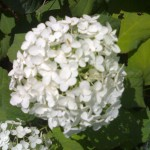 ortensia fiore bianco