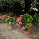 seccare fiori ortensia rosa
