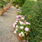 ortensie multicolori come seccare i fiori