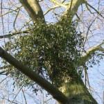 come seminare il vischio su un albero in giardino