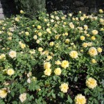 fioritura di rose gialle