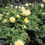fiori di rose gialle