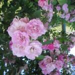 grappoli di rosa tenue