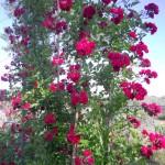 rose rampicanti antiche