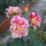 rosa variegata giallorossa la rosa della Roma
