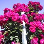 roseto fineschi, collezione, rose, fiesole, unitalsi, 149