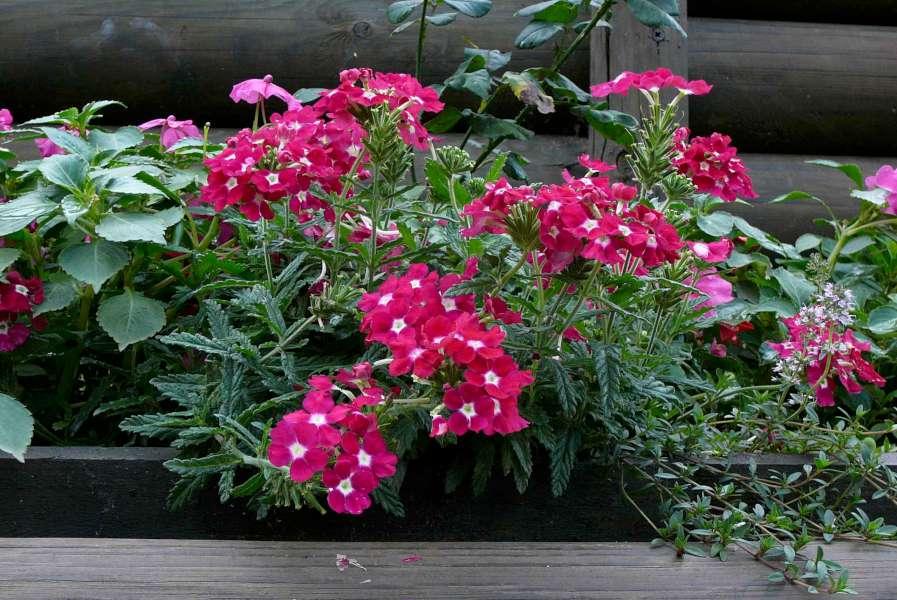 La finestra di stefania fioritura estiva la finestra di for Fiori perenni