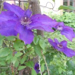 come piantare la clematis