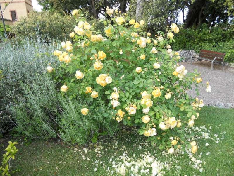 La finestra di stefania cespuglio di rose gialle la - Fiori per bordure giardino ...