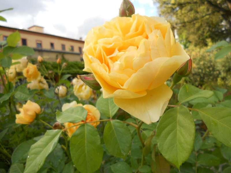 La finestra di stefania fiore giallo della rosa inglese for Rosa inglese