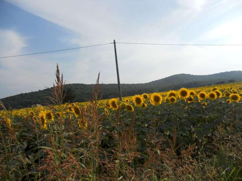 La finestra di stefania campo di girasoli in toscana la for Piantare girasoli