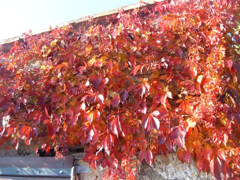 La Finestra di Stefania rampicante foglie rosse vite autunno - La Finestra di Stefania
