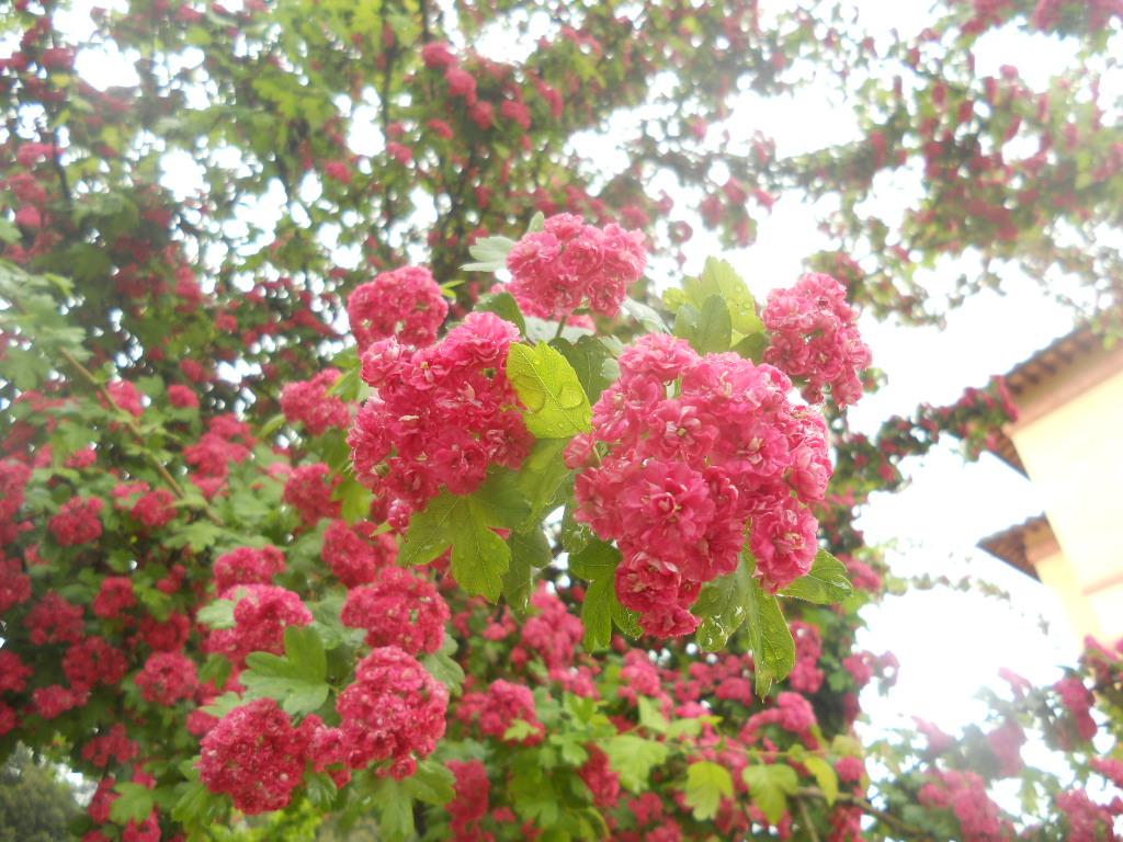 La finestra di stefania albero con spine e fiori rosa for Alberi da giardino con fiori