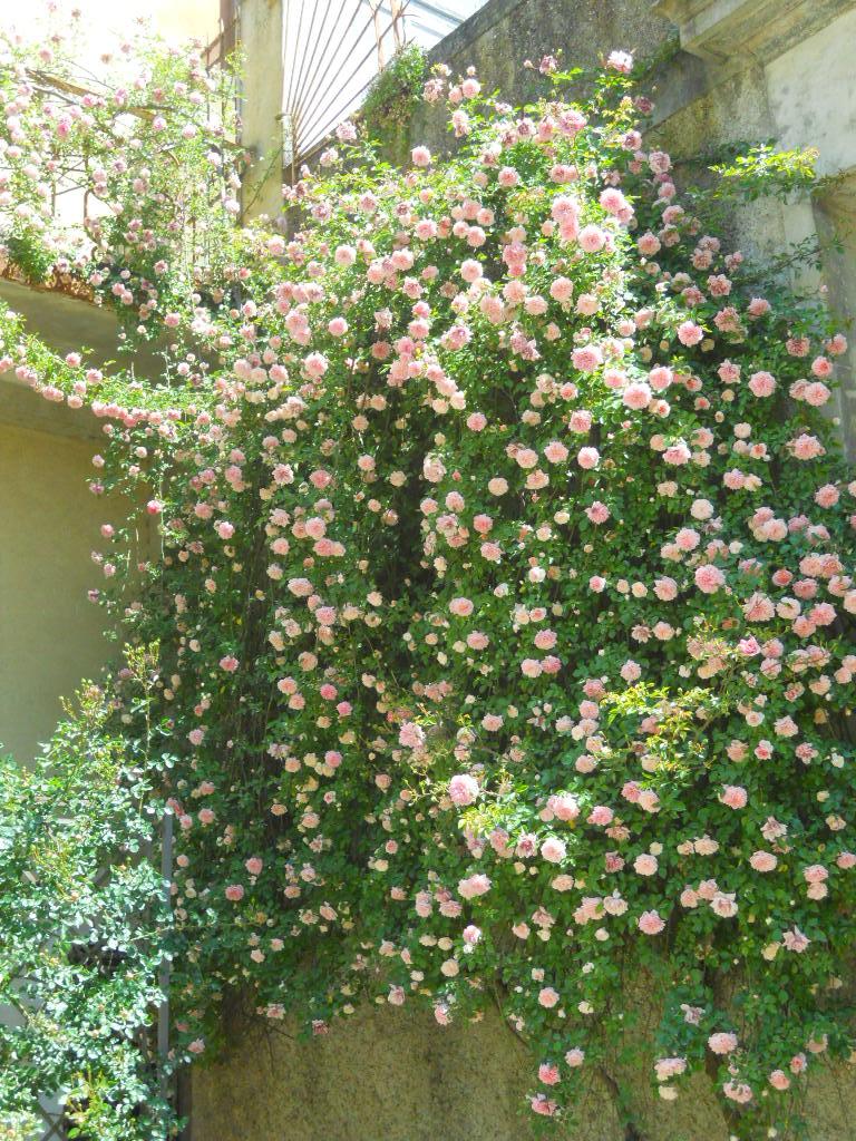 La finestra di stefania cascata di rose rampicanti la for Piante rampicanti in vaso