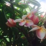 fiori-di-plumeria