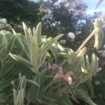 fiore-rosa-del-phlomis-