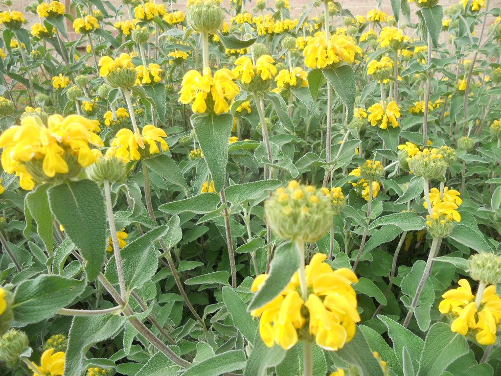 La Finestra di Stefania salvia-con-fiori-gialli-phlomis ...