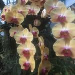 tagliare-orchideee-fioritura