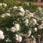 immagini siepe di rose bianche