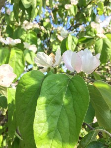 fiori del melo cotogno