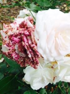 morbillo della rosa bianca