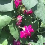 rampicante dai fiori colorati