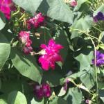 campanule colorat che fanno una siepe