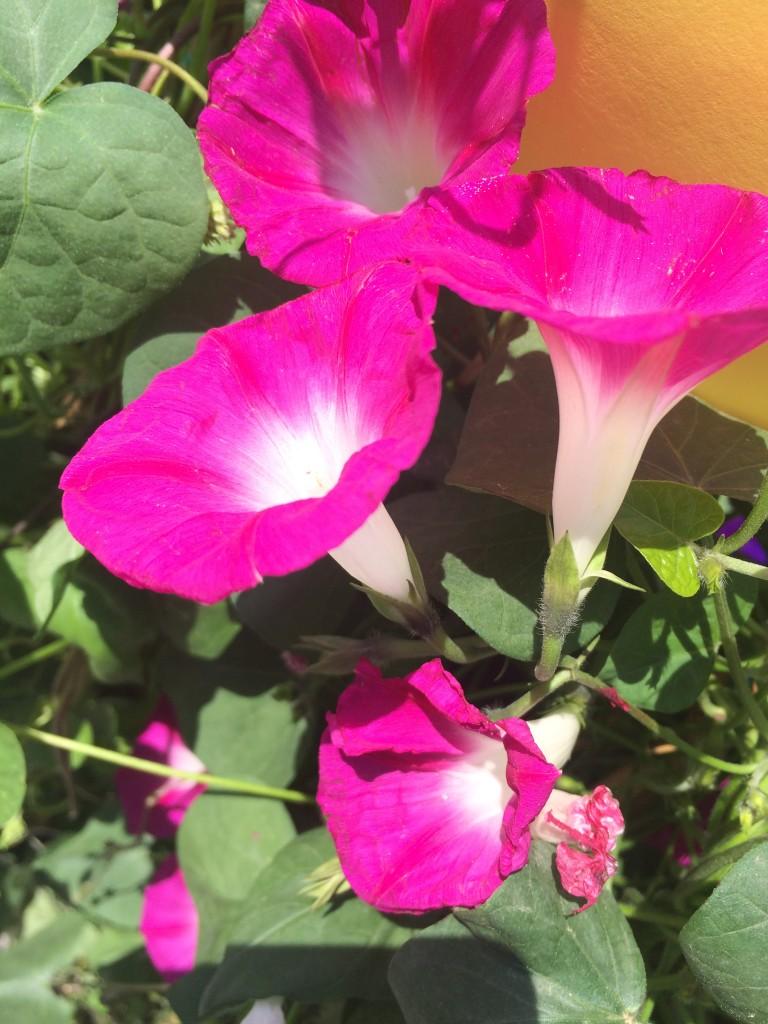 La finestra di stefania rampicanti sempreverdi decidui for Pianta rampicante con fiori viola a grappolo