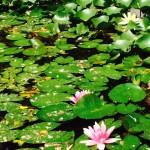ninfee rosa fiorite