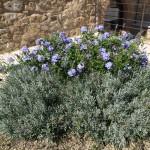 fiori celesti idee per giardino