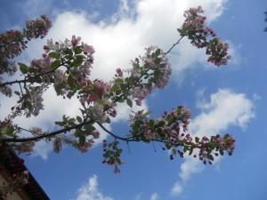 abbracciare il cielo con i fiori del pero pendulo