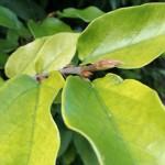 foglie del fico rampicante sempreverde