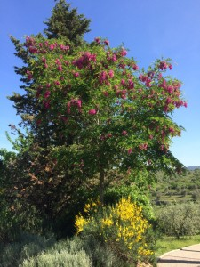 la robinia dai fiori rosa